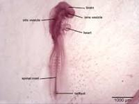 embrio_ayam_48_H.jpg
